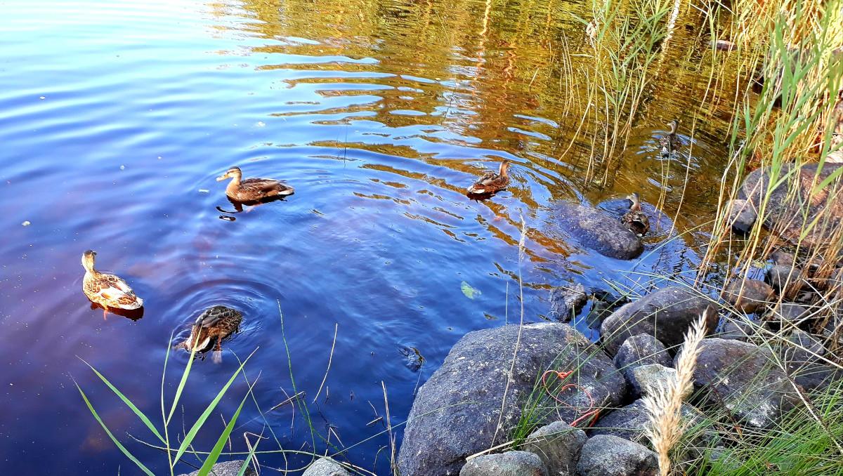 Sorsaperhe ui rantavedessä